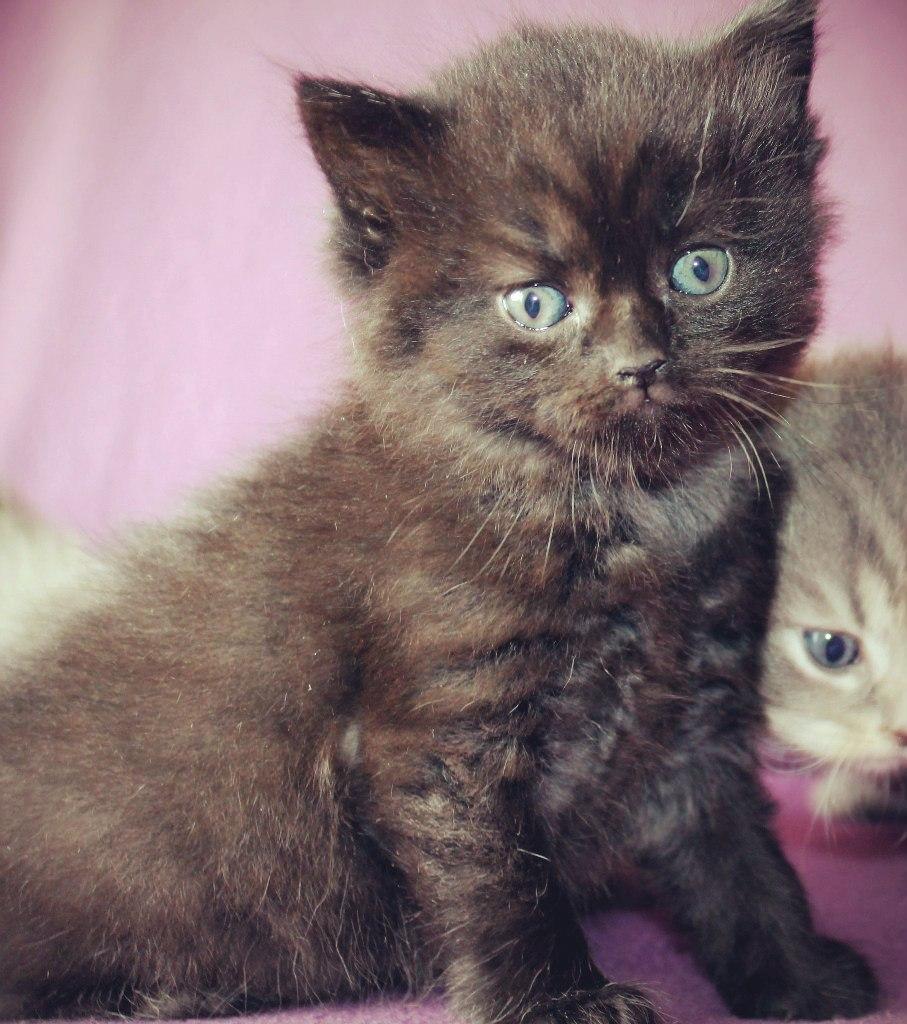 Британский черный котенок)