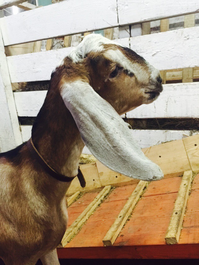 Продаю англо-нубийских коз