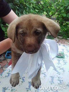 Продается щенки немецкой овчарки.
