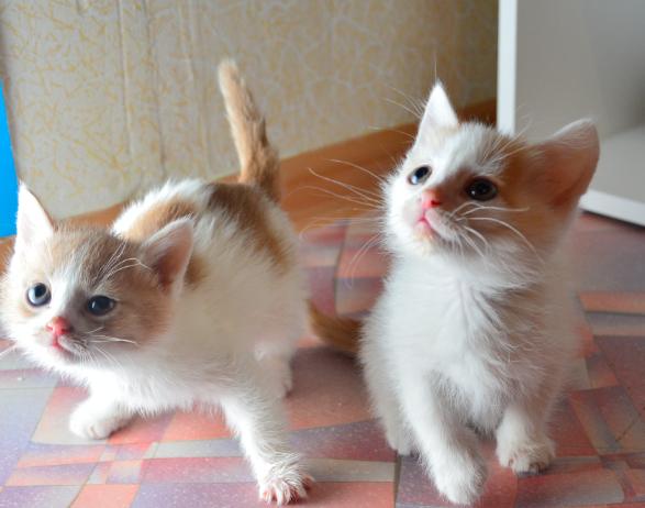 Отдам в хорошие руки кошек(турецкий ван)