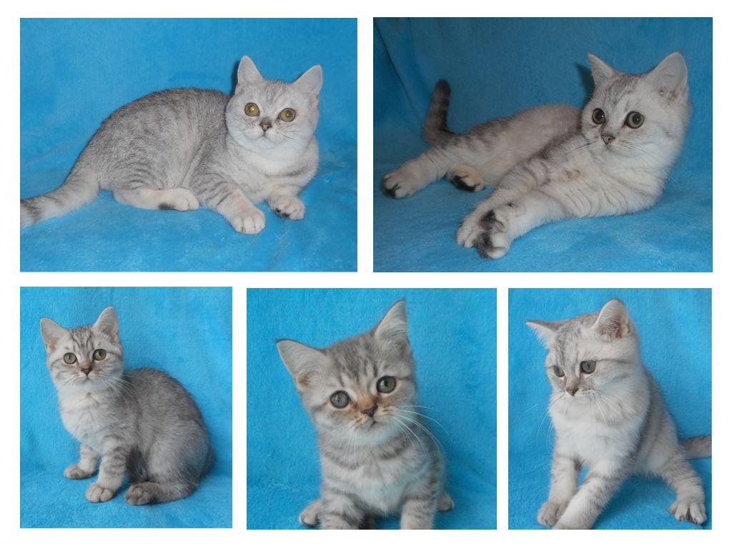 Серебристые британские котята