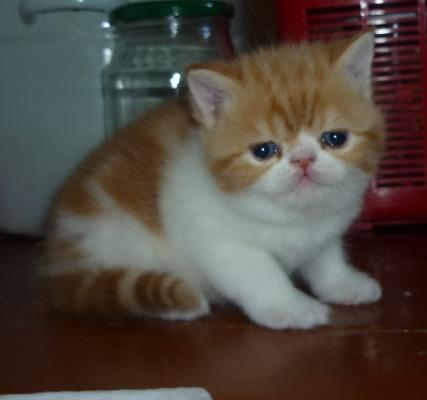 котята экзотические,экстрим.типа