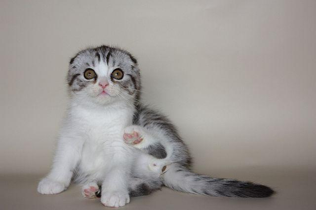 Шотландские котята скотиш страйт, фолд, хайленд