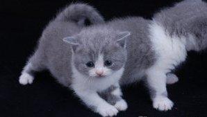 Британская короткошерстная кошка недорого