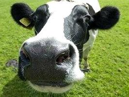 Коровы спасут от Эболы.