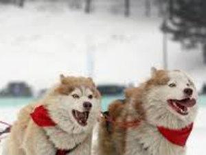 Собачьи упряжки выходят на старт.