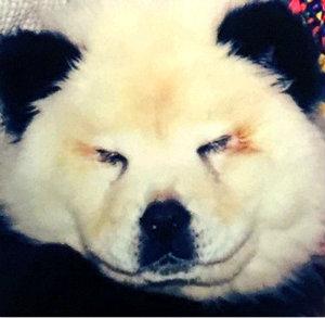 Владелец цирка в Италии раскрашивал собак в панд.