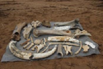 В Башкирии найдено уникальное крупное захоронение мамонтов